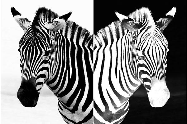 _zebra (600x400, 71Kb)