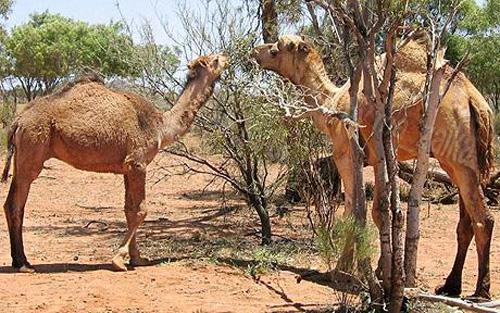Два диких верблюда пасутся в Outback в центральной Австралии