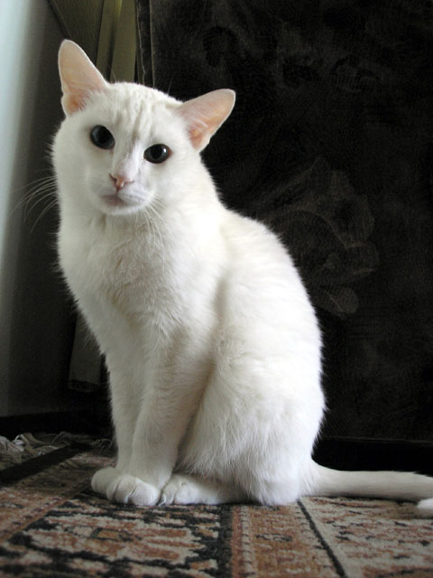 Белая кошка Миса (480x640, 51Kb)