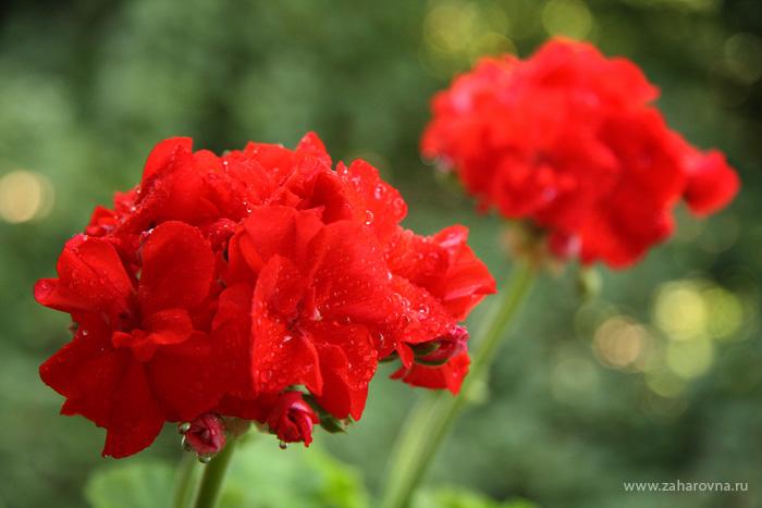 Герань (Geranium)