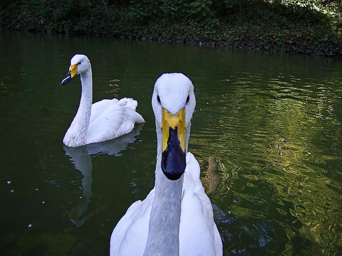 Умань. Софиевский парк. Нижний пруд, лебеди