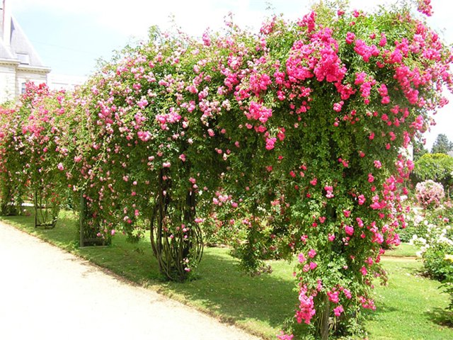 Гирлянды плетистых роз