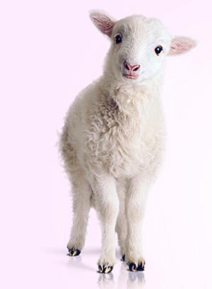 lamb (300x408, 25Kb)
