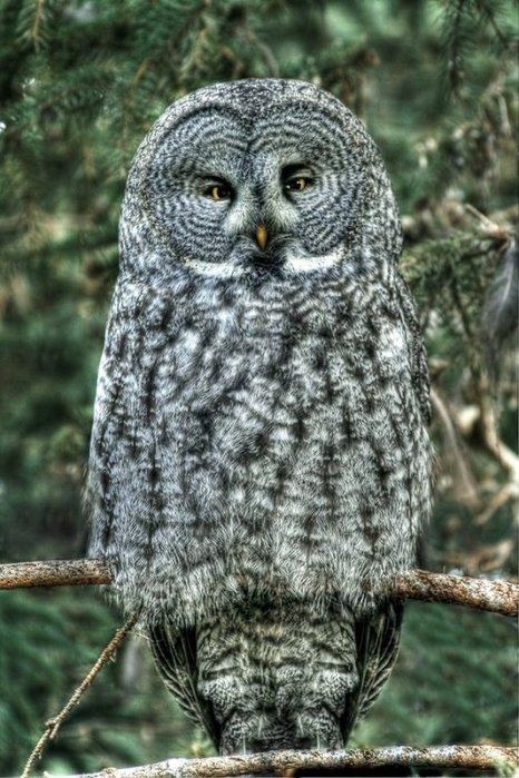 http://img1.liveinternet.ru/images/attach/c/0//48/23/48023598_1251358814_Great_Gray_Owl_by_La_Vita_a_Bella.jpg