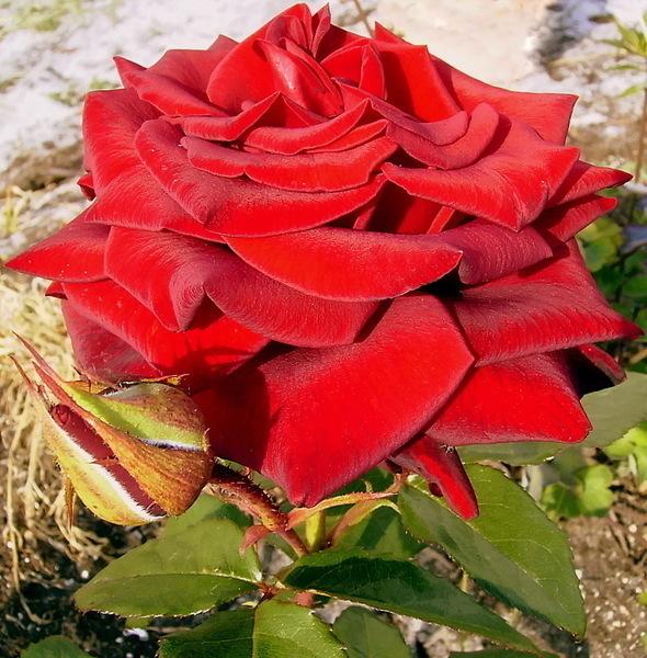 роза только моя (590x600, 155Kb)