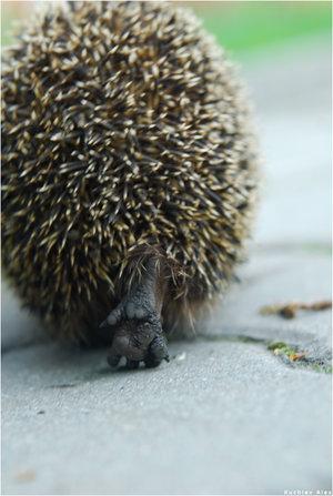 hedgehog (300x447, 37Kb)