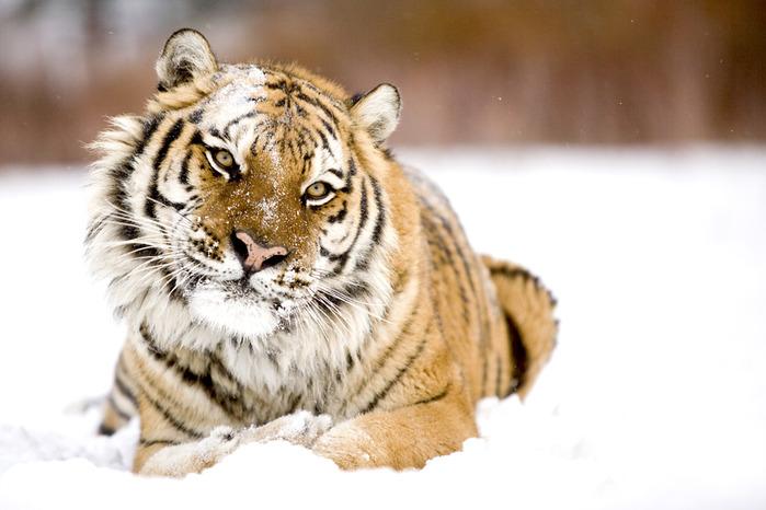 Tiger_03 (699x466, 92Kb)