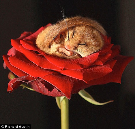 http://img1.liveinternet.ru/images/attach/c/0//52/232/52232347_sleepingdormouse.jpg