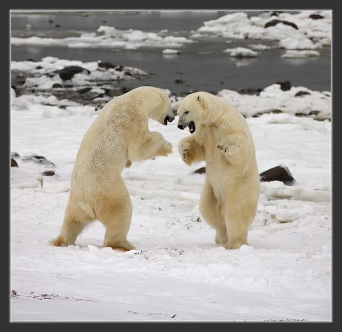 фото,фотография,природа,животные,мир,север,медведи,белые медведи,мишка на севере,photo