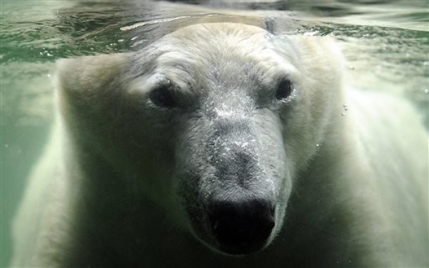 Символ изменения климата - полярный белый медведь.