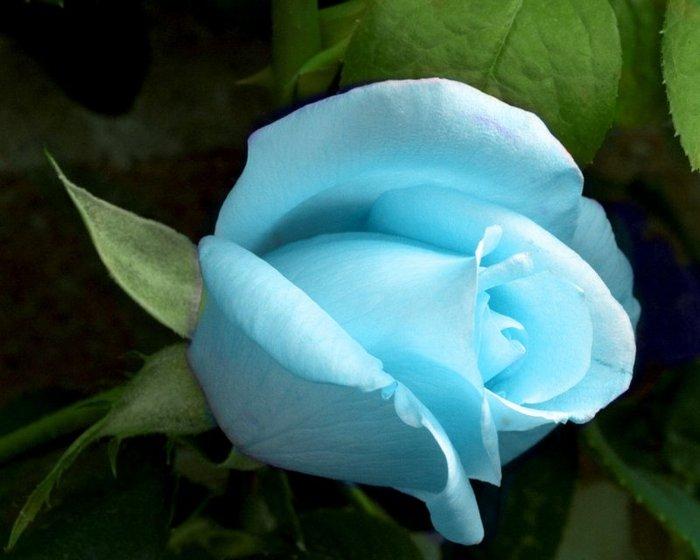 голубая роза (700x560, 50Kb)