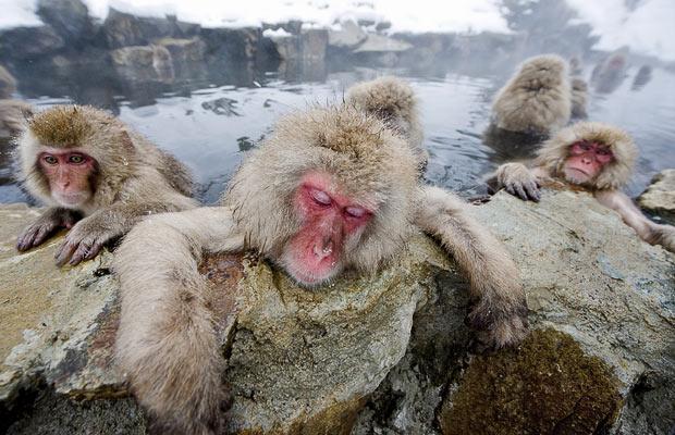 Японские макаки искупались в горячих источниках в теплой вулканической Hell's долине Jigokudani парка в Нагано.