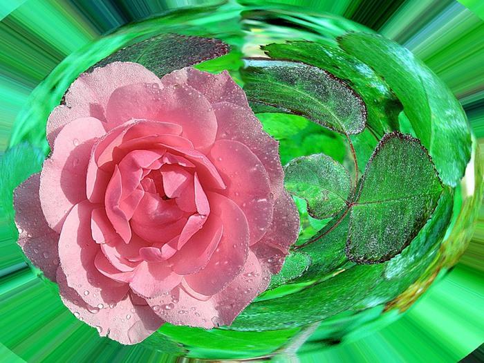 розов роз4 (700x525, 153Kb)