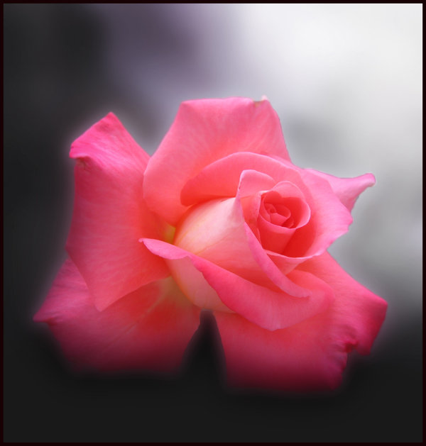 Pink_Rose_III_by_Callu (600x629, 39Kb)