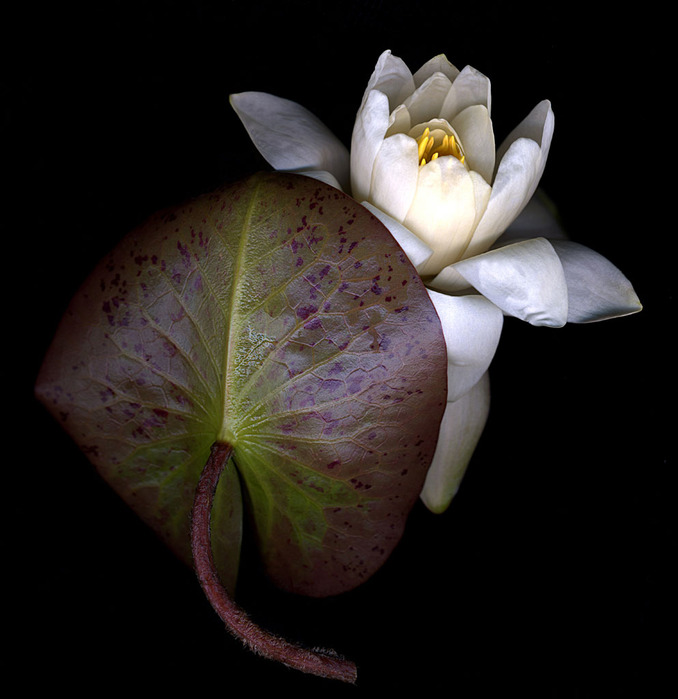 water_lily_leaf&flower (678x699, 88Kb)