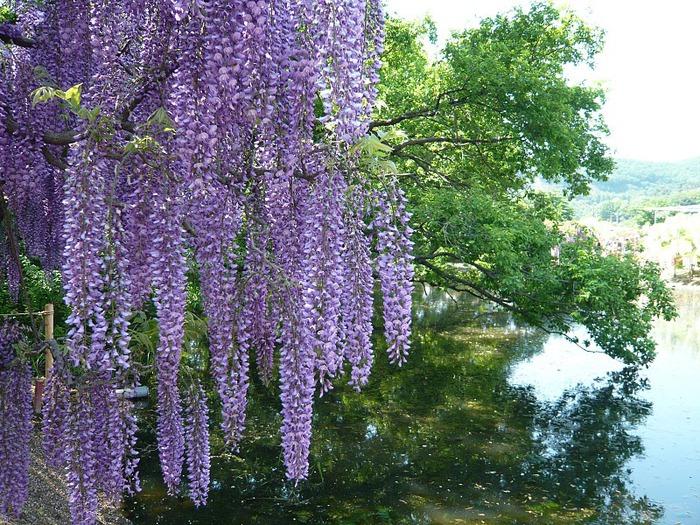 Японский Парк цветов Асикага (Ashikaga Flower Park) -2 29192