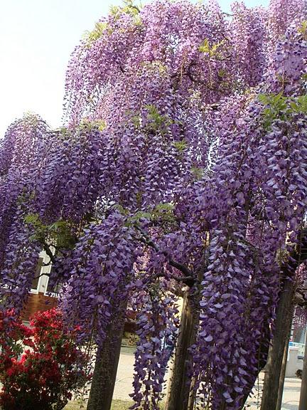Японский Парк цветов Асикага (Ashikaga Flower Park) -2 63189