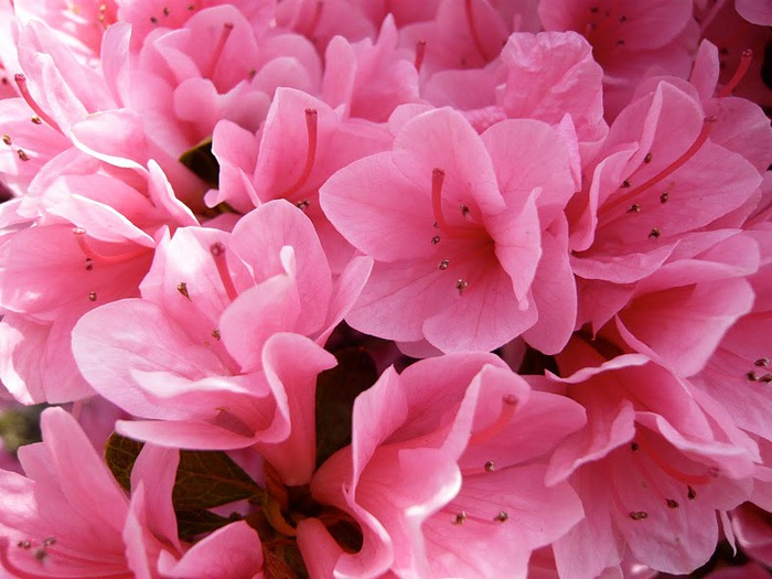 Японский Парк цветов Асикага (Ashikaga Flower Park) -2 42145