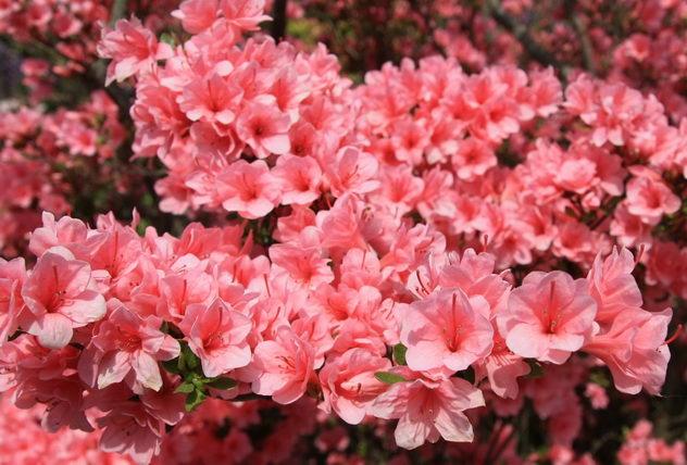 Японский Парк цветов Асикага (Ashikaga Flower Park) -2 19488