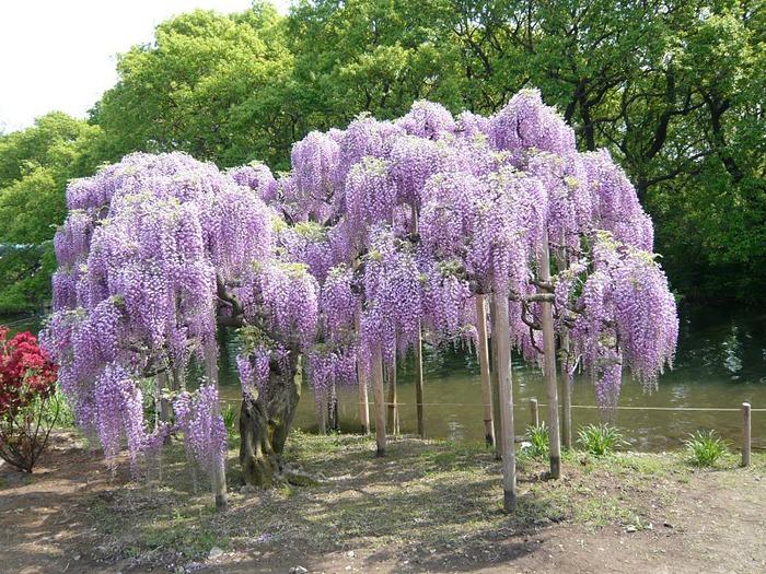 Японский Парк цветов Асикага (Ashikaga Flower Park) -2 35729