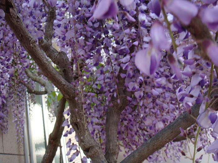 Японский Парк цветов Асикага (Ashikaga Flower Park) -2 38710