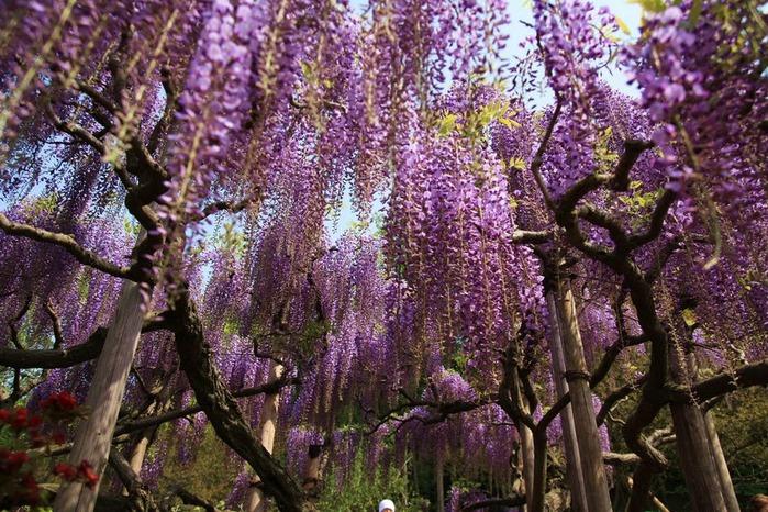 Японский Парк цветов Асикага (Ashikaga Flower Park) -2 20901