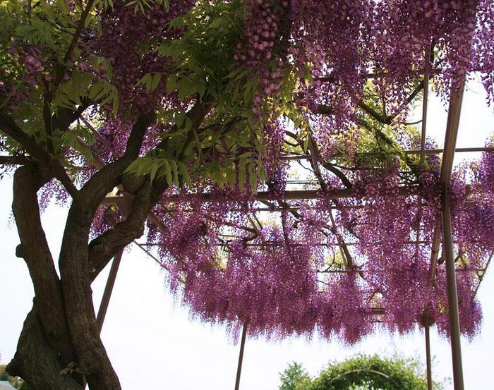 Японский Парк цветов Асикага (Ashikaga Flower Park) -2 91284