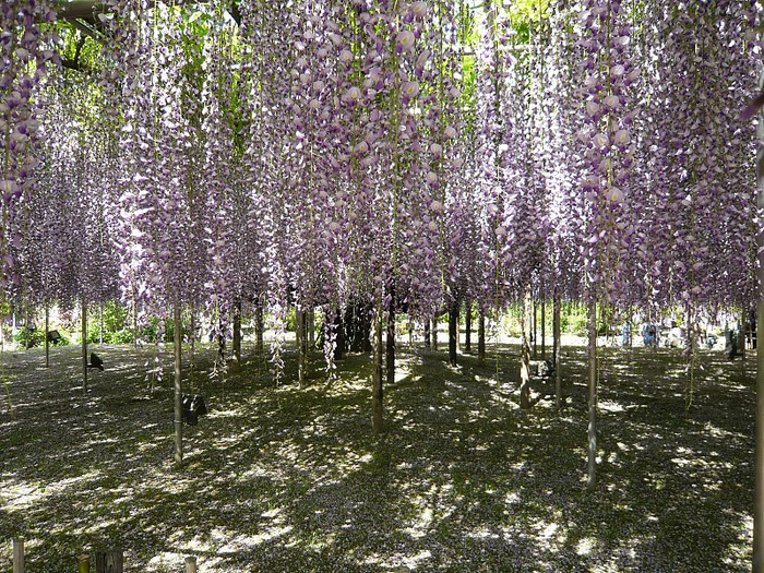 Японский Парк цветов Асикага (Ashikaga Flower Park) -2 39670