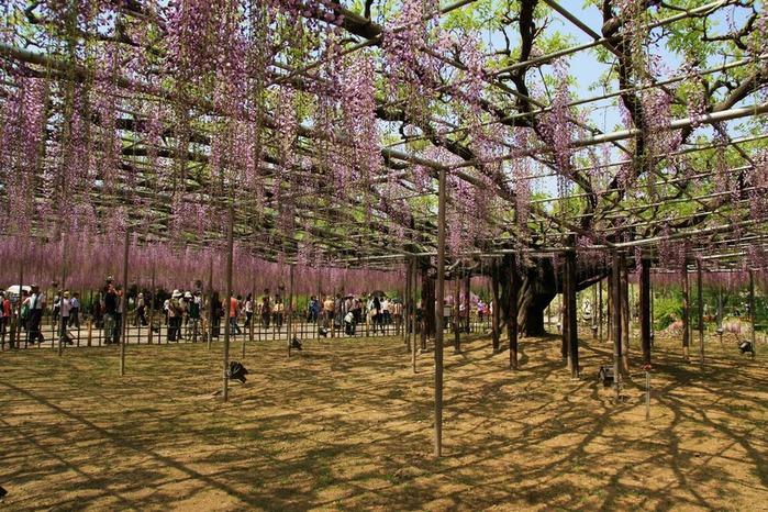 Японский Парк цветов Асикага (Ashikaga Flower Park) -2 80968