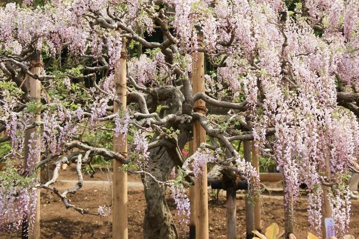 Японский Парк цветов Асикага (Ashikaga Flower Park) -2 45552