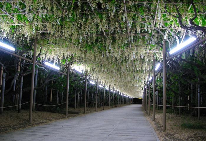 Японский Парк цветов Асикага (Ashikaga Flower Park) -2 67198