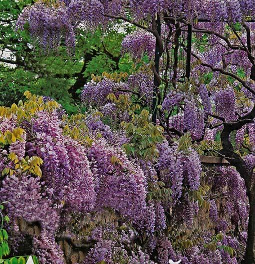 Японский Парк цветов Асикага (Ashikaga Flower Park) -2 16776