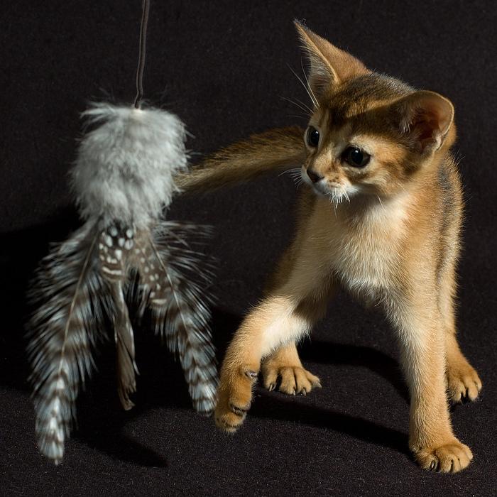Абиссинская кошка (700x700, 259Kb)