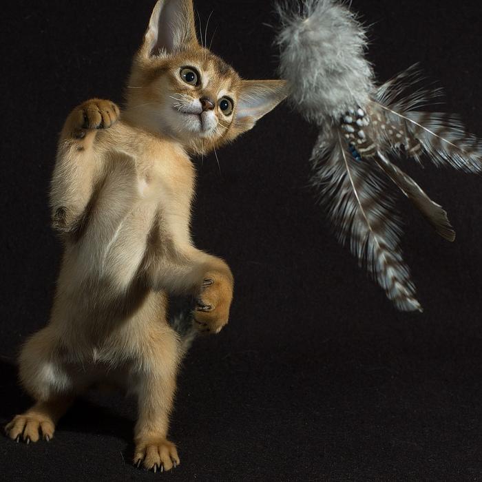 Абиссинская кошка (700x700, 216Kb)