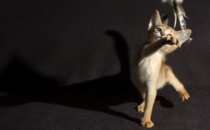 Абиссинская кошка (699x433, 128Kb)