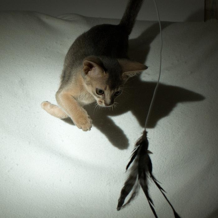 Абиссинская кошка (700x700, 214Kb)