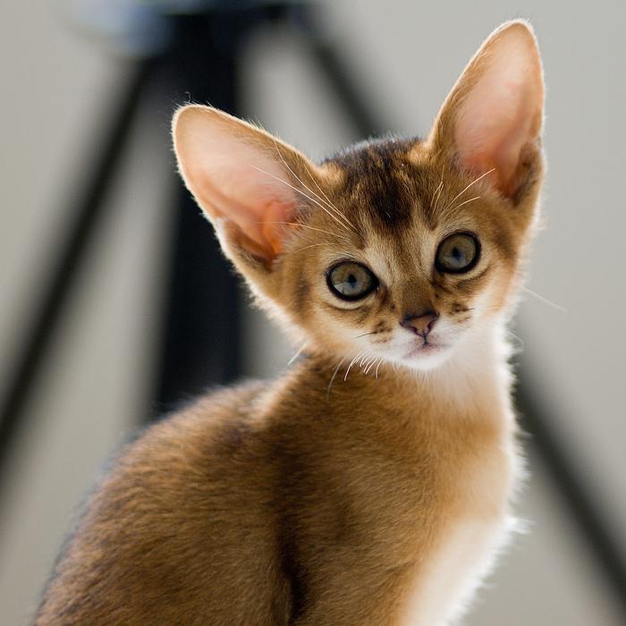Абиссинская кошка (700x700, 217Kb)