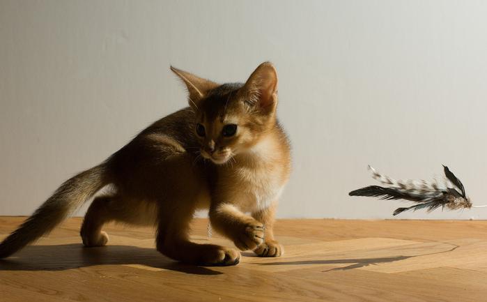 Абиссинская кошка (699x433, 109Kb)