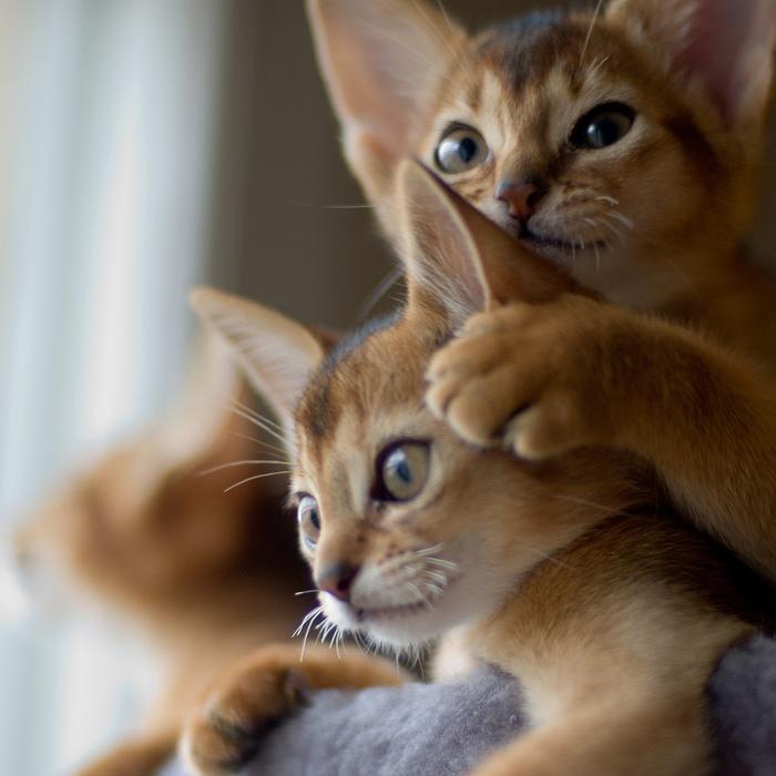 Абиссинская кошка (700x700, 175Kb)