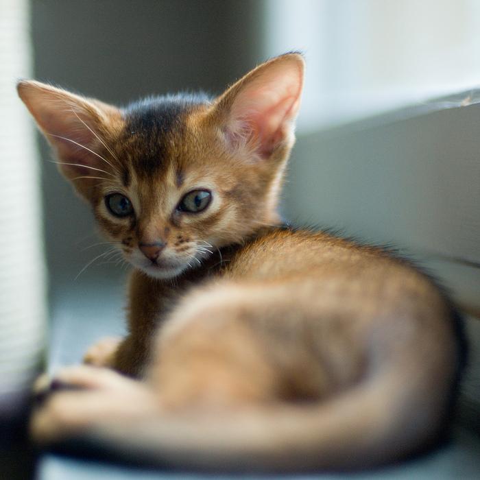 Абиссинская кошка (700x700, 218Kb)