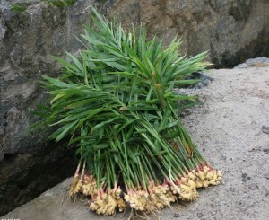 Растение имбирь фото