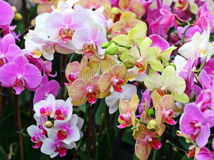 орхидеи в саду (700x525, 559Kb)