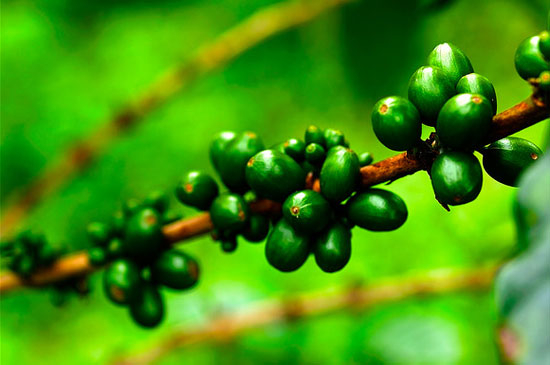 green-coffee 1 (550x365, 160Kb)