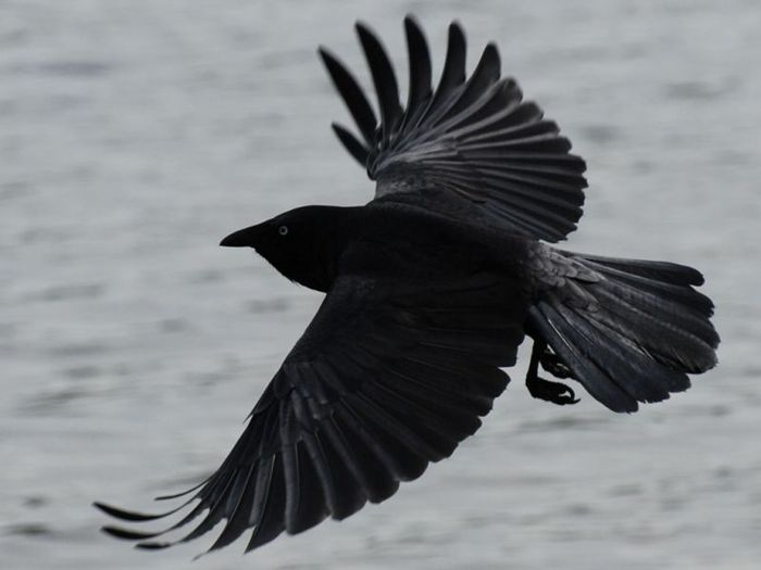 black_crow_in_flight_wallpaper_-_800x600 (700x525, 31Kb)