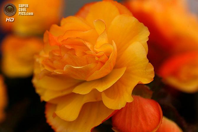фестиваль цветов в лондоне фото 15 (670x447, 238Kb)