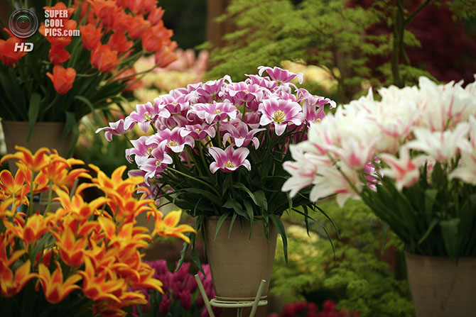 фестиваль цветов в лондоне фото 17 (670x447, 284Kb)
