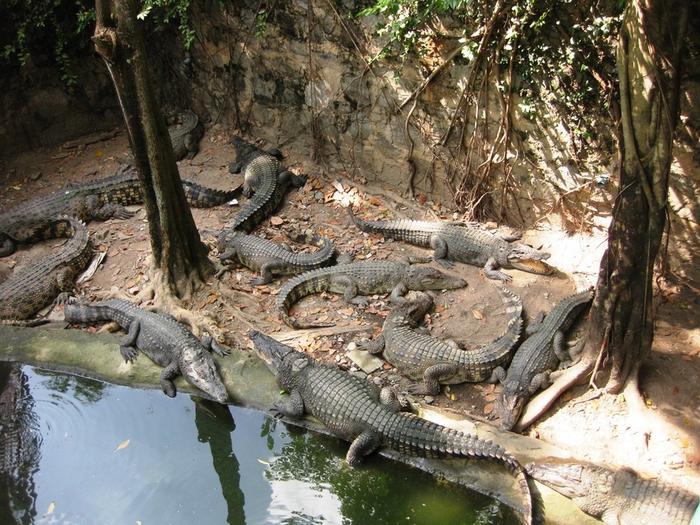 тигровый зоопарк в таиланде фото 6 (700x525, 485Kb)