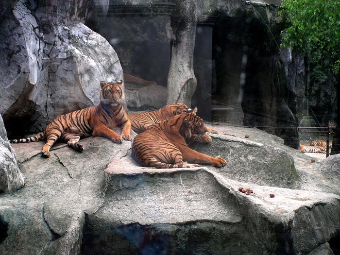 тигровый зоопарк в таиланде фото 9 (700x525, 518Kb)