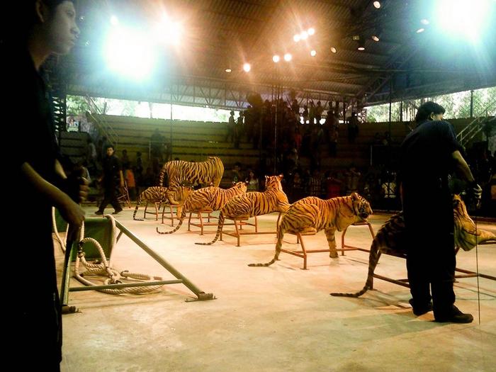 тигровый зоопарк в таиланде фото 11 (700x525, 390Kb)