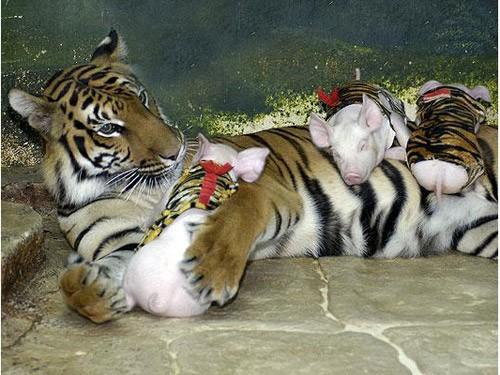 тигровый зоопарк в таиланде фото 14 (500x375, 204Kb)